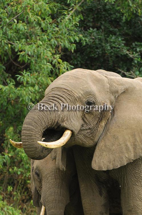 Elephant in Africa