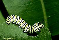 MO02-006c  Monarch Butterfly - caterpillar on milkweed - Danaus plexippus