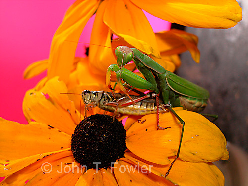 Praying (Chinese) Mantis Tenodera aridifolia with prey<br />