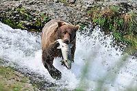 A brown bear hauls off a trophy size salmon it caught at the McNeil River Falls,  in Alaska's McNeil River State Game Sanctuary.