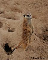 0215-08pp  Standing Meerkat on Lookout, Suricata suricatta © David Kuhn/Dwight Kuhn Photography