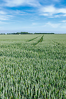 Winter wheat in ear - Lincolnshire, June