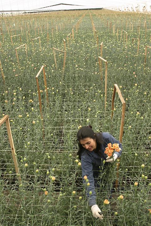 BOGOTA, COLOMBIA -- NOVEMBER 03: A worker harvests carnations under a vast greenhouse near Bogota on November 3, 2003.   (Photo by Dennis Drenner/Aurora).