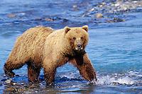 Aggressive Grizzly Bear walking along river.  Alaska.