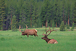 Bull elk with velvet-covered antlers in summer, Rocky Mountain National Park, Colorado.<br />