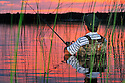00416-031.05  Fishing: Angler in waders fishes among bulrushes against the afterglow of pink sky and water.