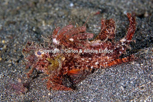 Pteridicthys amboinensis, Ambon scorpionfish, Lembeh, Indonesia