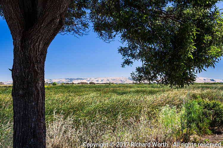 An expanse of green wetland, framed by a tree trunk and leafy branch with hills on the horizon and blue sky - Coyote Hills Regional Park, June 2017.