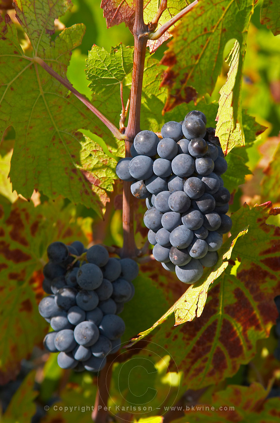 Bunches of ripe grapes. Gamay. Morgon, Beaujolais, France