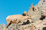 Bighorn Sheep, Females and Juvenile, Gardner Canyon, North Entrance, Yellowstone National Park, Wyoming