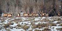 A herd of bull elk in Grand Teton national Park in Wyoming.