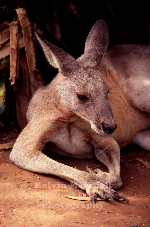 The Eastern Grey Kangaroo (Macropus giganteus) is a marsupial found in southern and eastern Australia, with a population of several million. It is also known as the Great Grey Kangaroo and the Forester Kangaroo.