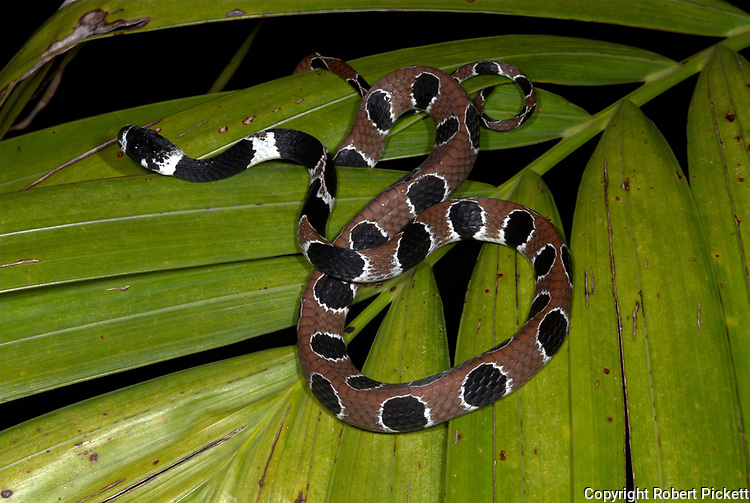 Ornate Thirst Snake or Snail Eating Snake, Dipsas catesbyi, Nauapa River, Iquitos, Peru, Amazon Jungle, nocturnal, specialist jaws pulls snails from shell, egg laying, leaf, brown and black patterned skin.