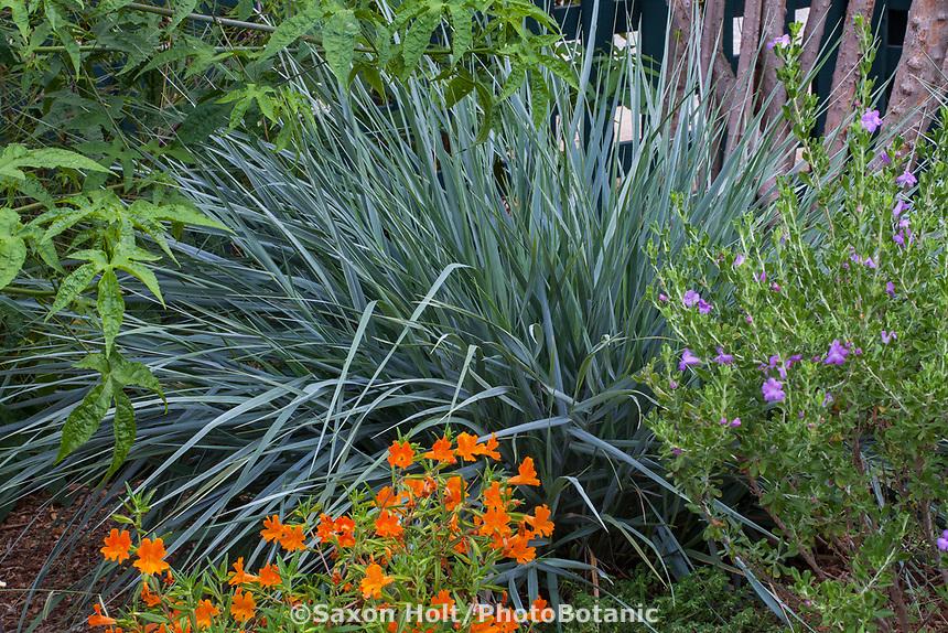 Leymus condensatus 'Canyon Prince' (Canyon Prince Wild Rye) California native grass in drought tolerant border at Gamble Garden, Palo Alto, California
