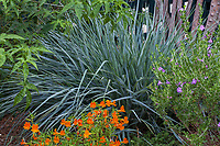 Leymus condensatus 'Canyon Prince' (Canyon Prince Wild Rye) California native grass in Pollinator Garden with Jelly Bean Orange Monkey Flower Mimulus 'Jelly Bean Orange' in drought tolerant border at Gamble Garden, Palo Alto, California