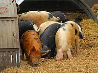 Boar porkers. Pigs.