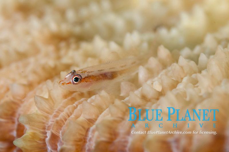 Juvenile Ghostgoby, Pleurosicya sp, on coral, Twilight Zone dive site, Ambon, Maluku, Indonesia, Banda Sea, Pacific Ocean