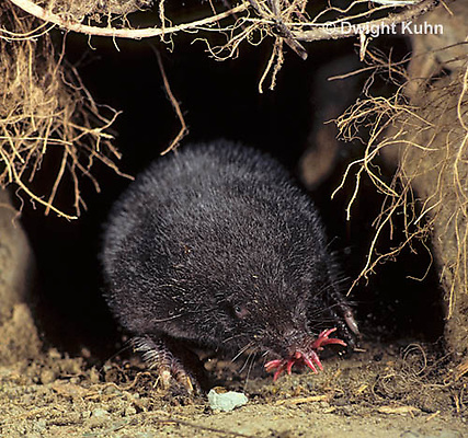 MB05-004z   Star-nosed Mole - moving through tunnel - Condylura cristata