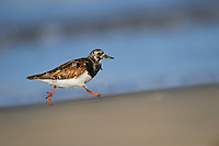 Ruddy Turnstone (Arenaria interpres), adult running, South Padre Island, Texas, USA