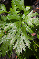 Parsley herb flatleaf Italian variety