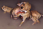 American toad, mating ball with six males competing for one female (Bufo americanus)
