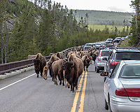 Buffalo traffic jam at Yellowstone National Park, Wyoming
