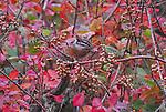 Poison Oak, San Francisco Bay Area, CA
