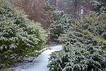 Snowy evergreens at the Arnold Arboretum in the Jamaica Plain neighborhood, Boston, Massachusetts, USA