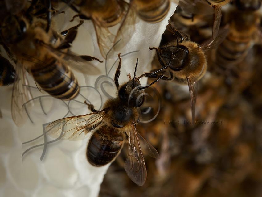 Wax-producing bees on a comb under construction.<br /> Sur un rayon en construction, les abeilles ciri&egrave;res.