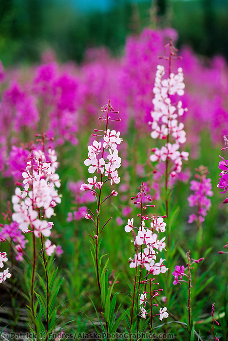 Less common light pink fireweed blossoms, Livengood, Alaska