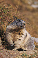 Alpine Marmot, Marmota marmota, adult, Saas Fee, Switzerland, September 2003