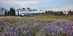 Mount Rainier Natl Park,  WA  <br /> Peaks of the Tatoosh Range above a lush meadow of alpine wildflowers on Mazama ridge