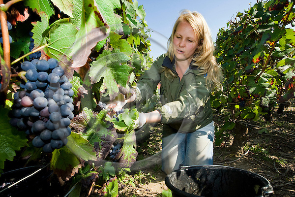 SILLERY - FRANCE - 20 SEPTEMBER 2008 -- Champagne producer Collin - Gillaume vineyard. --  Annina MATTSSON (from Fin.) who was invited by the daughter of the owner, to help with the harvesting and picking of grapes. -- PHOTO: JUHA ROININEN / EUP-IMAGES