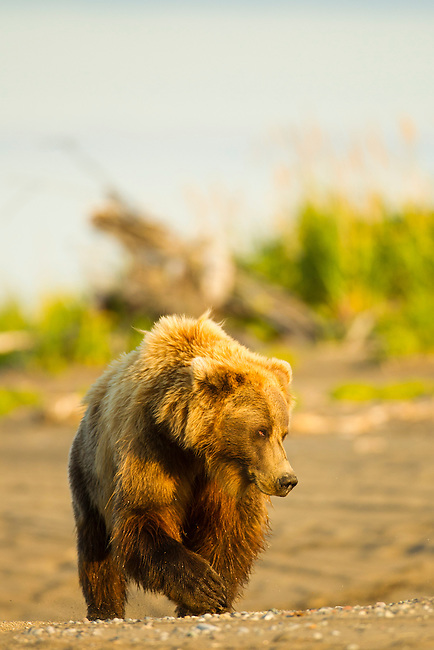A coastal brown walks along the beach near the mouth of Silver Salmon Creek in Lake Clark National Park, Alaska. The bear is waiting for fish to start coming up the creek.  Photo by Gus Curtis.