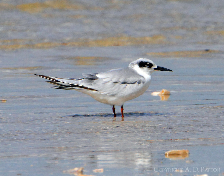 Adult Forster's tern in nonbreeding plumage in mid September