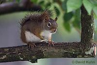 0705-1001  Red Squirrel, Tamiasciurus hudsonicus  © David Kuhn/Dwight Kuhn Photography