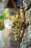 A very ripe bunch of white grapes, probably Grenache blanc, in a vineyard in Collioure, Languedoc-Roussillon, France