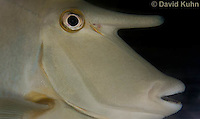 0515-1002  Short-nosed Unicorn Fish (Brown Unicornfish), Naso brevirostris  © David Kuhn/Dwight Kuhn Photography