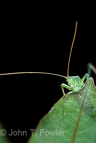 Angular-winged katydid  Orthoptera  Microcentrum retinerve<br />