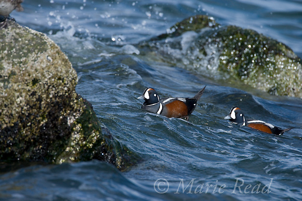 Harlequin Ducks (Histrionicus histrionicus), two males swimming along rocky coastline in heavy surf, Barnegat Inlet, New Jersey, USA