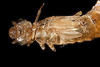 Libellen-Larve mit Flügelscheiden auf dem Rücken, in den Flügelscheiden entwickeln sich während des Wachstums der Larve die späteren Flügel, Große Königslibelle, verlassene Larvenhaut, Exuvie, Larve, Grosse Königs-Libelle, Anax imperator, Emperor Dragonfly, L´Anax empereur