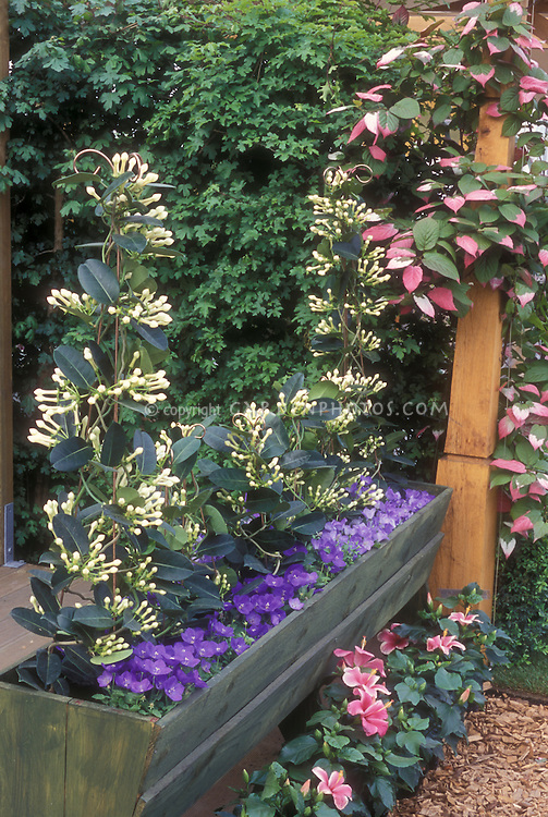 Climbing vine garden with Campanula, Madagascar Jasmine Stephanotis in trough container with variegated kiwi vines Actinidia at rear climbing trellis on patio