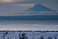 A moose feeds in frost covered grass as the sun sets over Alaska's Cook Inlet and Mount Redoubt.