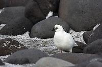 Black-faced Sheathbill at Corinthian Bay, Heard Island