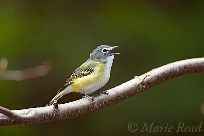 Blue-headed Vireo (Vireo solitarius), male singing in spring, New York, USA
