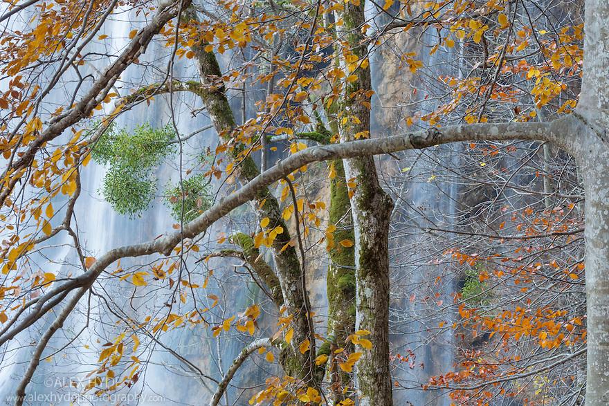Woodland surrounding Veliki Prstavci waterfalls. Notice the Mistletoe {Viscum album} growing on the tree branches. Plitvice Lakes National Park, Croatia. November.