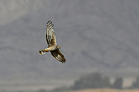Hen Harrier - Circus cyaneus<br /> female