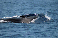 Fin Whale at the surface showing the distinctive white jaw