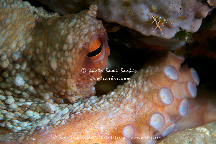 Eye of Common Octopus (Octopus vulgaris), Riou Island, Moyades, Marseille, France.
