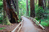 A quiet stroll through the redwood forest of Muir Woods